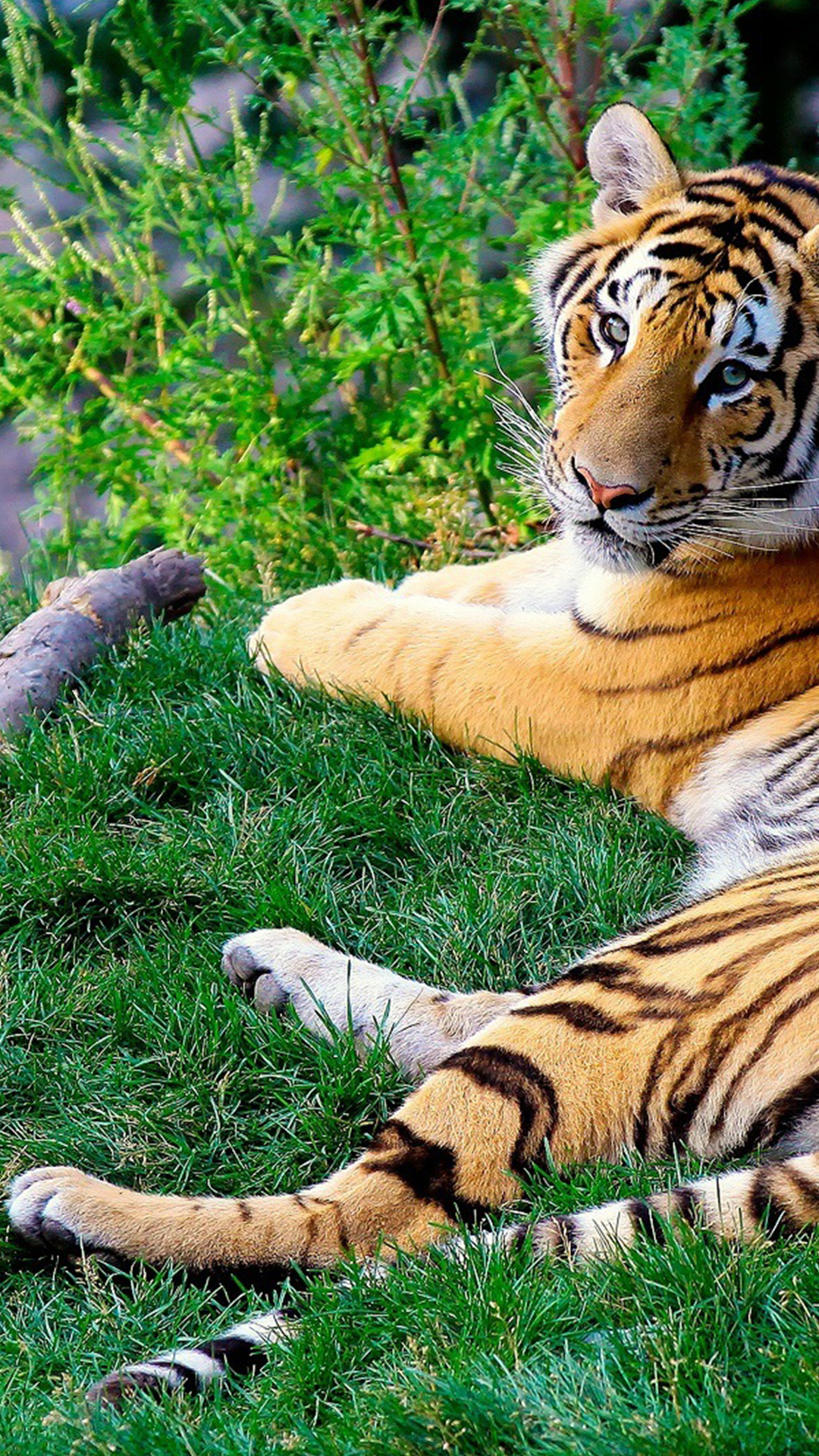 Free Hd Bengal Tiger Phone Wallpaper 1142