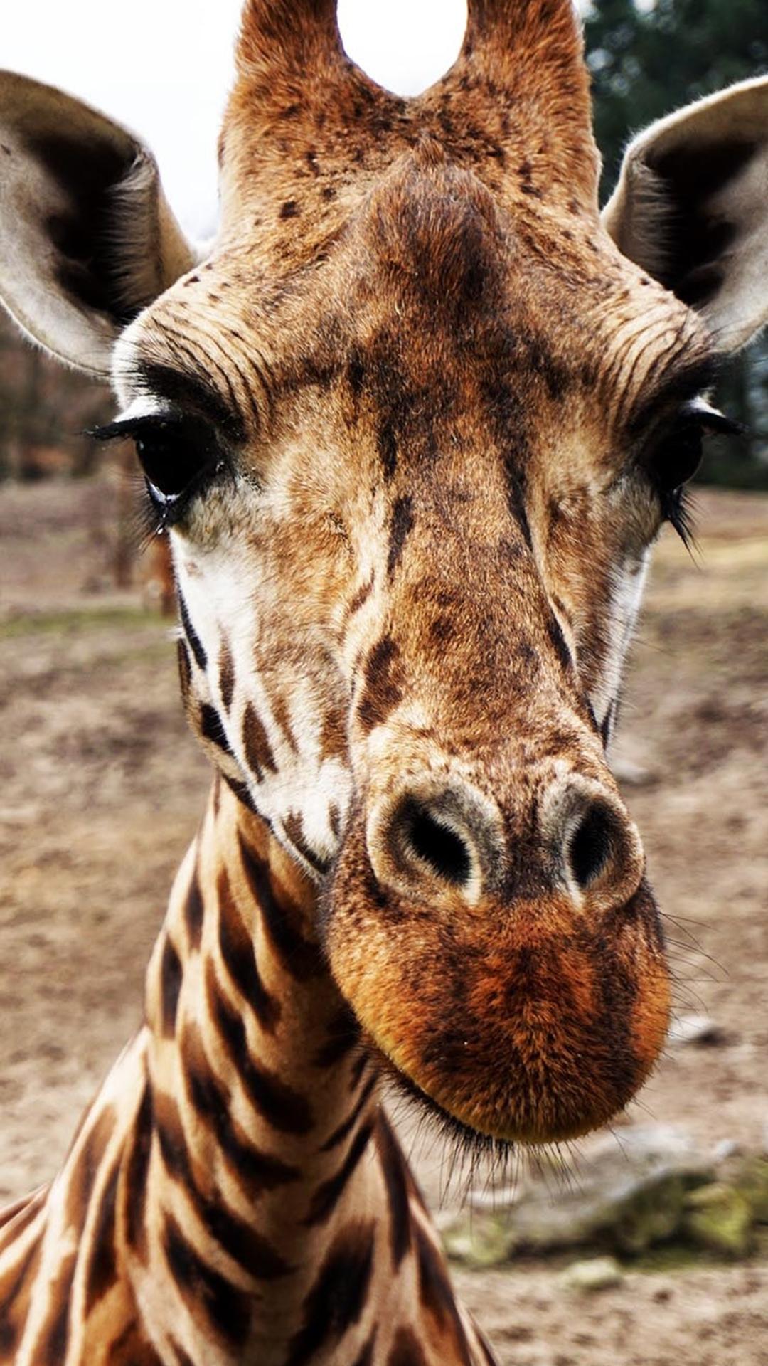 Free HD Giraffe Phone Wallpaper8575