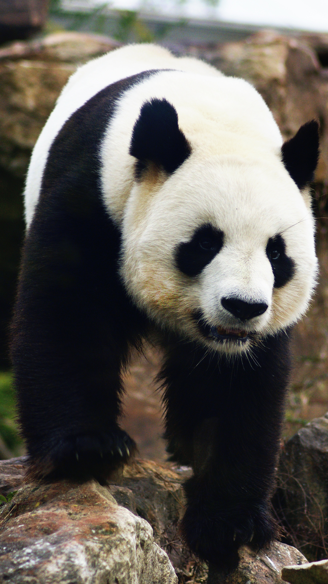 free hd panda phone wallpaper6438
